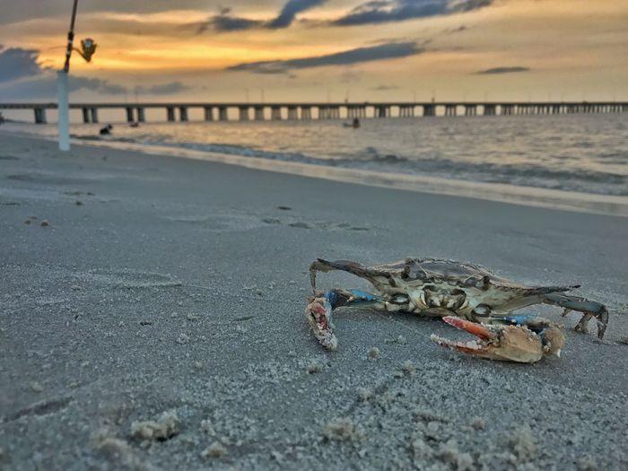 IPhoneography Beachphotography Crabbing Fisherman Chesapeake Bay Bridge Chesapeake Bay Crab Beach Sea Land Water Sky Sand Animal One Animal Outdoors Animal Wildlife Animal Themes Sunset Nature Beauty In Nature Scenics - Nature Tranquil Scene No People Animals In The Wild Horizon Over Water Tranquility