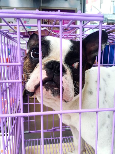 Frenchbulldog Dog doesn't want to be in the Cage Check This Out Today's Hot Look