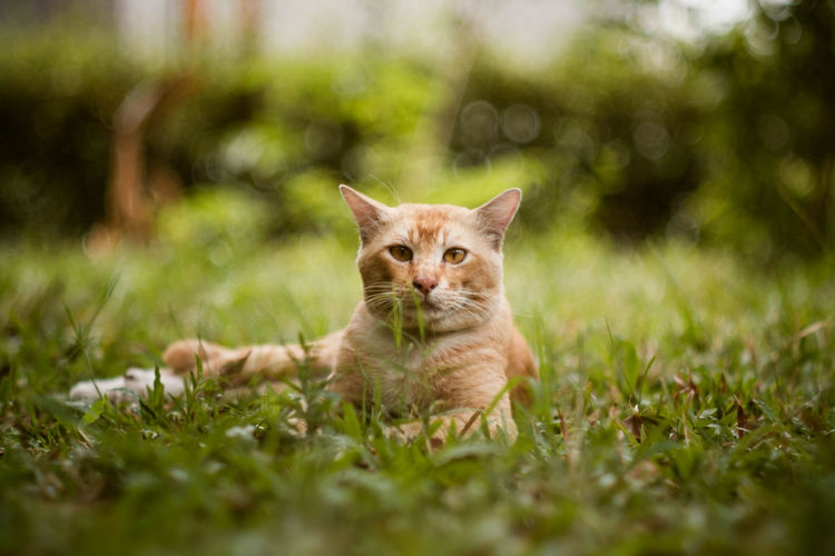 Mouri, The Ginger Warlord Cats Of EyeEm Ginger Cat Grass Nature X-T20 Adorable Cat  Blurred Background Cat Lovers Close-up Shot Domestic Cat Feline Feline Portraits Fujifilm_xseries Grass Area Green Background House Cats Looking Minolta 100mm F2.5 No People One Animal Outdoors Sunny Day