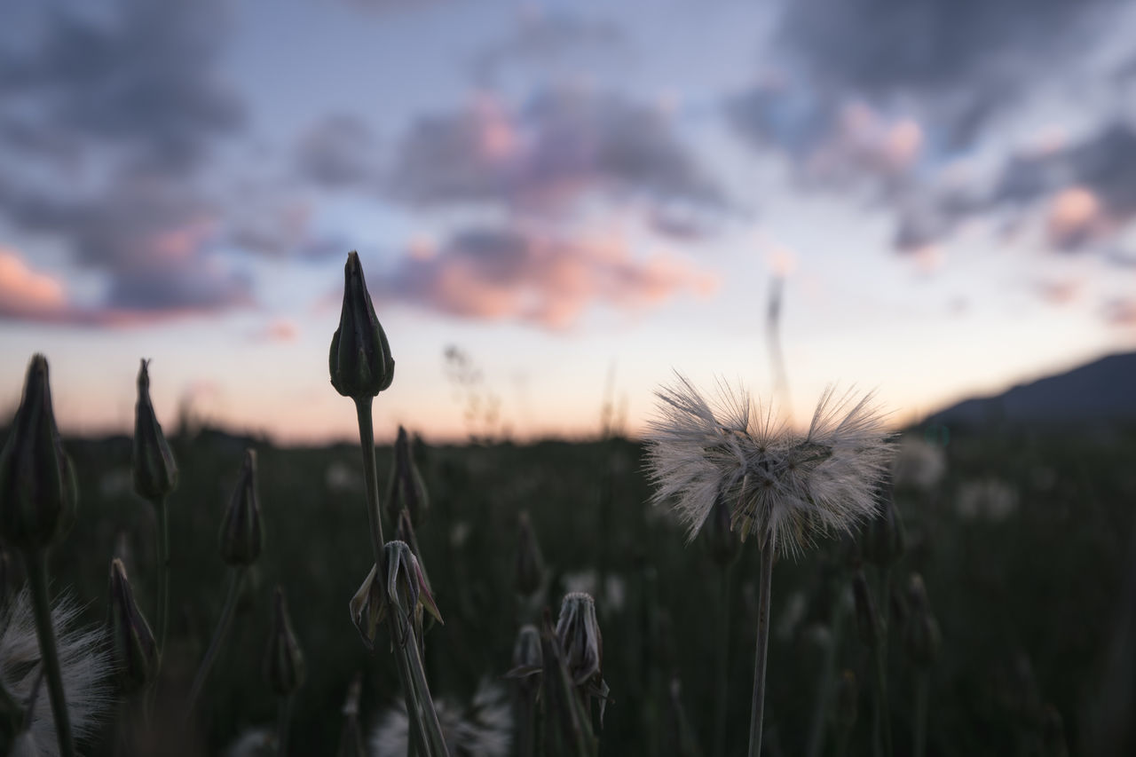 growth, nature, plant, flower, beauty in nature, focus on foreground, sunset, fragility, tranquility, field, outdoors, close-up, no people, freshness, day, sky, flower head