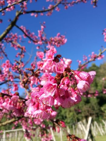 Flower Freshness Nature Beauty In Nature Growth Low Angle View Fragility Pink Color Tree Branch Springtime Close-up Sky Sunlight No People Day Outdoors Petal Blossom Clear Sky