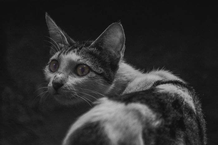 Menoleh Cat Kucing Blackandwhite Black & White Selective Color Mood Mood Captures Animal Animal Photography Hewan INDONESIA EyeEmNewHere Domestic Cat Pets Domestic Animals One Animal Animal Themes Mammal Feline Animal Animal Head  Close-up No People Day