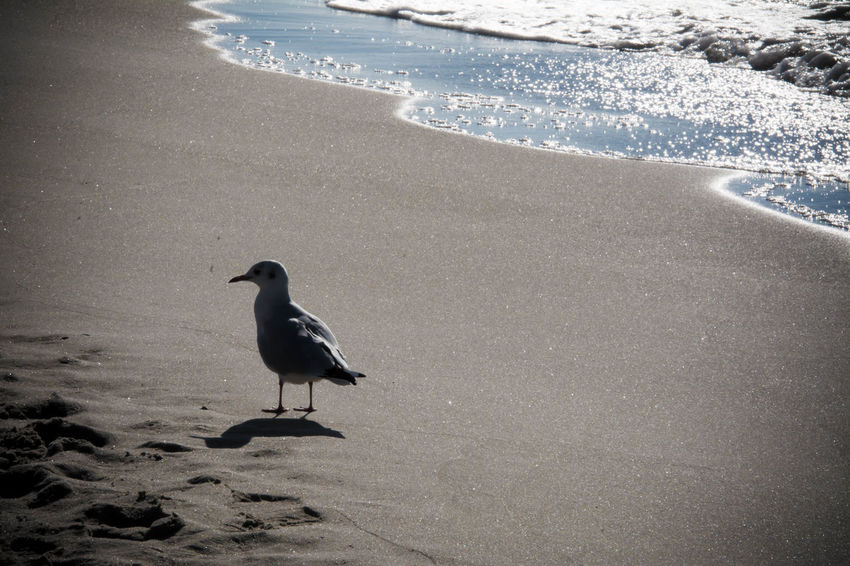 Animal Themes Vertebrate Animal Water Animals In The Wild Animal Wildlife Bird One Animal Beach Land Sea Sand Day Nature No People Wave Perching Motion Seagull Outdoors