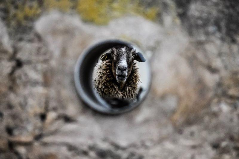 Sheep Ovejas
