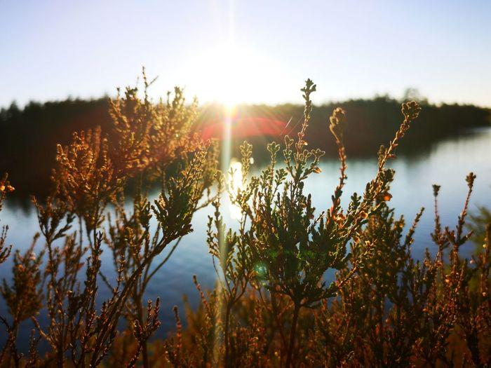 November Heatherscene Focus On Foreground Vegetation Sunbeam Sunbeams On Water Reflections In The Water Lakesunset Lakesideview Lake Sunset Flower Sunlight Sun Dawn Sky Plant Landscape