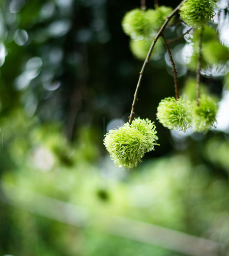 Green Rambutan Raw Orchard Young Tree Background Plant Nature Food Closeup Natural Fresh Health Leaf Season  Sweet Garden Fruit Organic Tropical Thailand Beautiful Color Summer Colorful Agriculture Outdoor Freshness Thai Close Up Seasonal Branch Only Seafood Limited Edition Ready Fruits