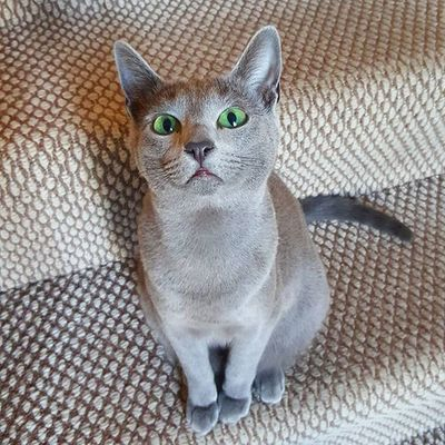 Well, how do you do!😎😍💚😙 Russianbluesofinstagram Russianbluekitten RussianBlue Russianbluecat Instacat Instakitty Greycat Silvercat Bluecat Cat_features ロシアンブルー Propetsfeature Catstocker Catstock Excellent_cats Rosyjskiniebieski Russischblau Gats Gatos Azulruso Catsmosh N1cecats Thedailykitten Kot Kotek kotka hussycatspetoftodaycatsisters sistercats