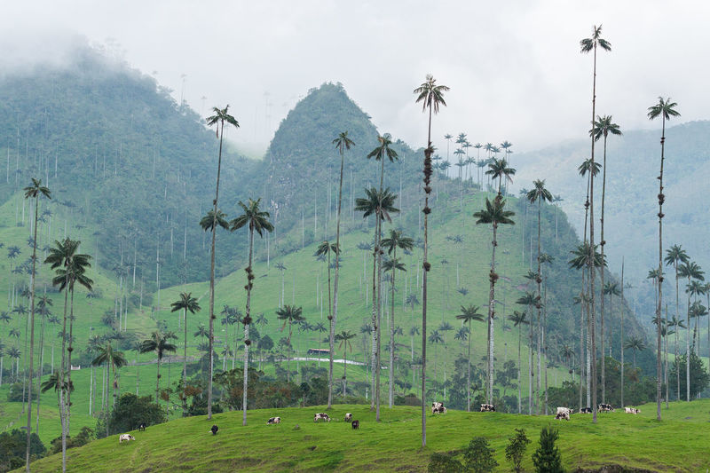 Valle de Cocora - Palm Trees Bogotá Colombia Medellín Tourist Travel Beauty In Nature Day Grass Landscape Mountain Nature No People Outdoors Palm Tree Sky Tree