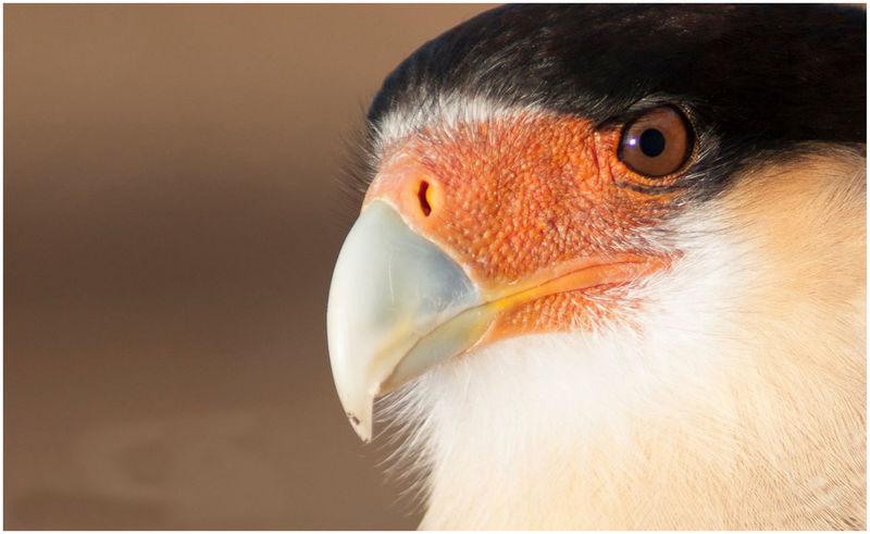 Animal Wildlife Bird Carancho Cordillerano Close-up Nature Orange Color Rapazes Super Close Up