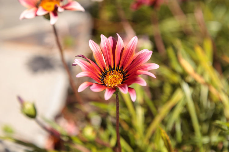 Pink African daisy, Osteospermum Ecklonis, blooms in a botanical garden in summer on a background of green leaves African Daisy Beauty In Nature Blooming California Close-up Daisy Daisy Flower Day Flower Flower Head Fragility Freshness Growth Laguna Beach Nature No People Osteospermum Ecklonis Outdoors Petal Pink Flower Plant Red Flower Spring USA
