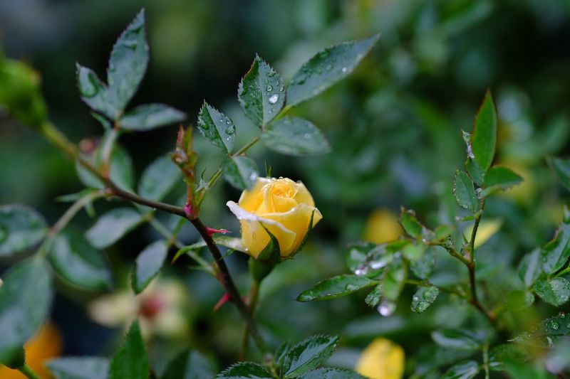 Close-up of yellow wild rose blooming outdoors