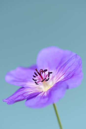 Close-up of purple flower against blue background