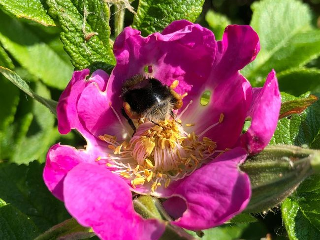IPhone X Photography IPhone X Prerow Bumblebee Flowering Plant Flower Fragility Petal Plant Vulnerability  Flower Head Freshness Inflorescence Pink Color Animals In The Wild Insect Bee Nature Beauty In Nature One Animal Growth Close-up Invertebrate Day