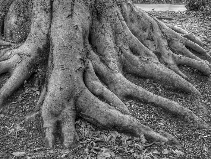 Tress Roots in Black and White Black And White Tree Roots Growing Out Of The Ground High Contrast Black And White Full Frame Textured  Day Backgrounds Outdoors No People Nature Close-up