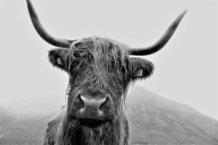 hi, highland cattle EyeEm Best Shots - Black + White Highland Cattle Scotland Blackandwhite Looking At Camera Close-up Cow Cattle
