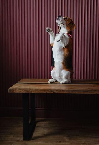 Dog sitting on table