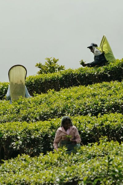 Sri Lanka Ceylon Tea Tea Plantation  Tea Picker People People Watching Green Outdoors Agriculture Cultivation ASIA Travel Landscapes Nature Fogg Landscape Traveling Women Around The World Investing In Quality Of Life