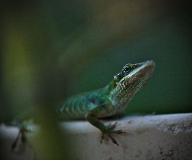 Green Anole Lizard Animal Themes Animal Wildlife Animals In The Wild Anole Lizard Anole, Anolis Carolinensis Bokeh Carolina Close-up Day Green Color Nature No People One Animal Outdoors Reptile