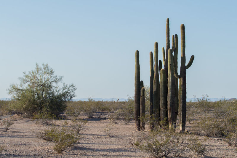 Arid Climate Brush Cactus Clear Sky Copy Space Day Desert Group Of Cactus Grove Growth Heat - Temperature Nature No People Non-urban Scene Outdoors Plant Saguaro Sahuaro Sky