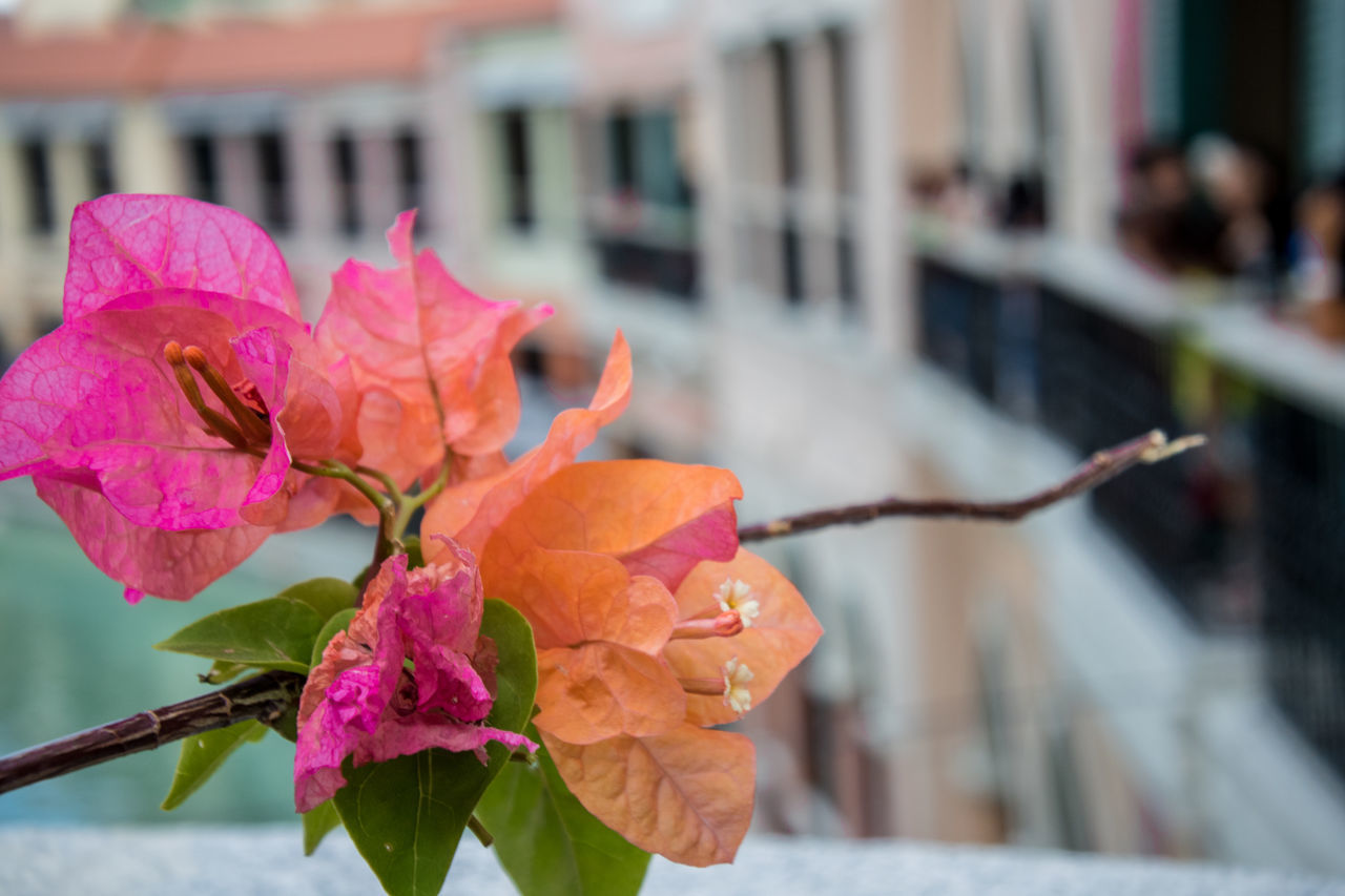 flower, focus on foreground, fragility, petal, freshness, outdoors, nature, beauty in nature, growth, pink color, close-up, day, plant, bougainvillea, flower head, blooming, building exterior, architecture, no people