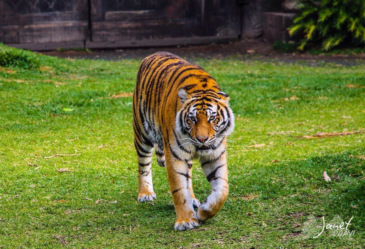 animal themes, grass, animal, animal wildlife, feline, cat, tiger, mammal, big cat, one animal, animals in the wild, plant, field, land, nature, no people, vertebrate, day, green color, outdoors, zoo, whisker