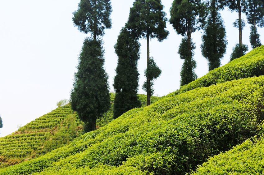 Growth Green Color Tree Nature Beauty In Nature Tea Crop Lush Foliage Agriculture Forest Plant No People Outdoors Tree Area Sky Day Freshness The Great Outdoors - 2017 EyeEm Awards The Week On EyeEm Hills, Mountains, Sky, Clouds, Sun, River, Limpid, Blue, Earth Tea Plantation  Tea Plantation Terrace Pain Tree Tree Focus On Foreground Selective Focus