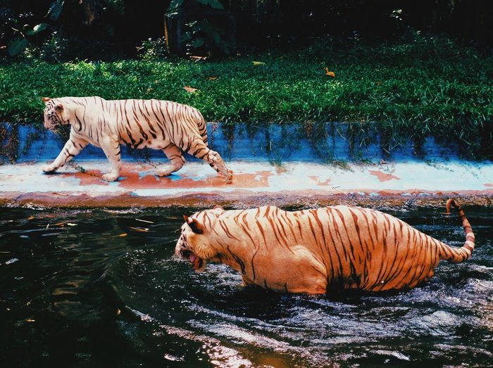 View of tigers at the zoo