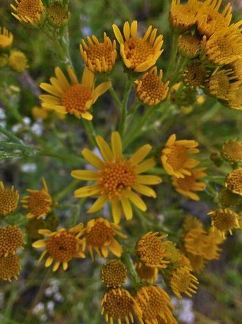Jaune🌻 Yellow Flower Fleur Jaune Flower Head Flower Petal Leaf Yellow Multi Colored Close-up Plant