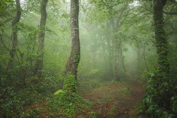 Tree Plant Forest Fog Land Beauty In Nature Tranquility Green Color Nature WoodLand Scenics - Nature Outdoors No People