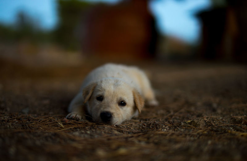 Portrait Of Puppy Relaxing Outdoors