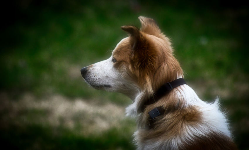 Close-up of dog looking away on field