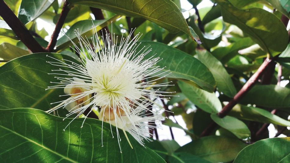 Syzygium samarangense or Jambu air flower. (Selective focusing) Photography In Motion Photographer Yammy! Growing Life Growing Up Rear View EyeEmNewHere Beauty In Nature Nature Outdoors Close-up Tree Plant Petal Flower Head Flower Lifestyles Warm Clothing