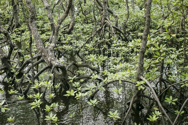 Mangroves Mangrove Forest Small Tree Shrub Mangrove Tour Borneo Concervation Plant Kandelia Candel Ceriops Decandra Rhizophoraceae Full Frame Day Outdoors Nature Green Color No People Beauty In Nature Tree Pattern