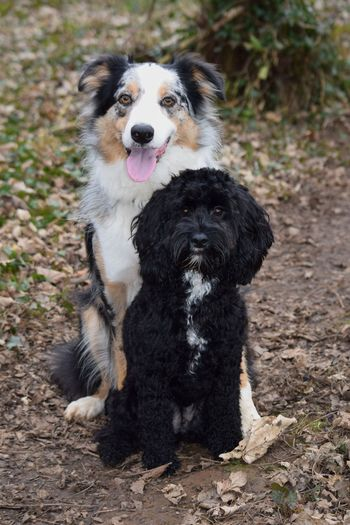 Perfect posing right there Puppy Love Cuddles Posing Pet Portraits Pets Dog Protruding Portrait Sitting Border Collie Animal Tongue Panting Animal Mouth Pet Collar Purebred Dog Sticking Out Tongue Canine