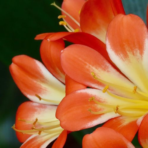Flowering plant bush lily orange and yellow petals beauty in nature growth Flower Freshness Fragility Close-up No People
