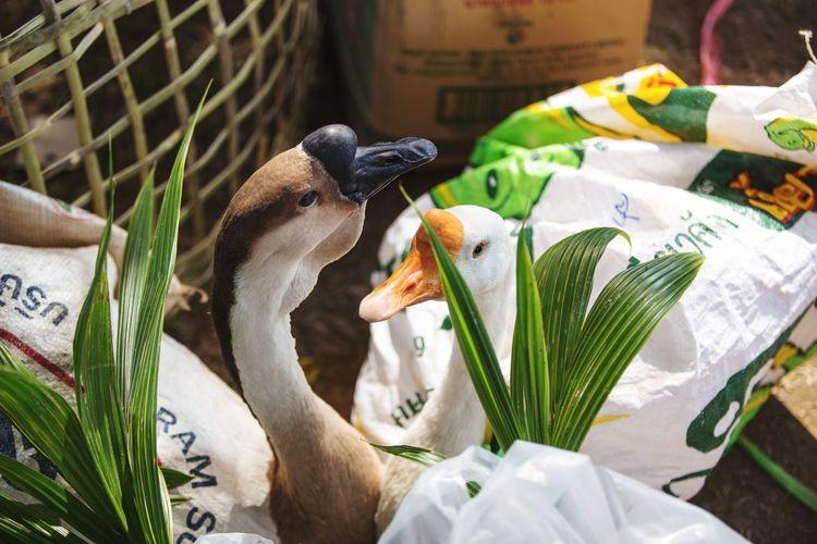 Ducks in