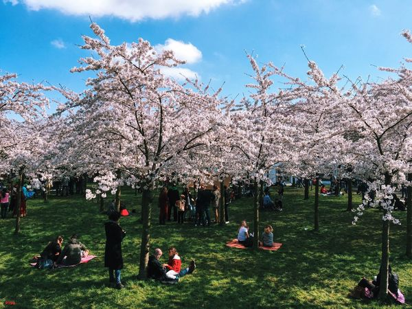 Blossom Sunday. P198 Feels like a Wes Anderson picture. What a lovely day! Onephotoaday IPhoneography Amsterdam Blossom Bloesempark Amsterdamse Bos Sunny Sunday Spring Springtime April Nature Netherlands Holland Blue Sky Green Grass People People Watching Relaxing Enjoying Life Hanging Out Showcase April