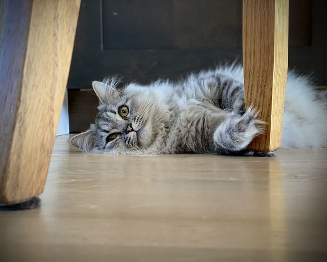 Portrait of cat resting on table