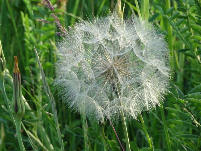 Beauty In Nature Close-up Dandelion Dandelion Seed Day Field Flower Flower Head Flowering Plant Focus On Foreground Fragility Freshness Green Color Growth Inflorescence Land Nature No People Outdoors Plant Softness Spring Vulnerability  White Color