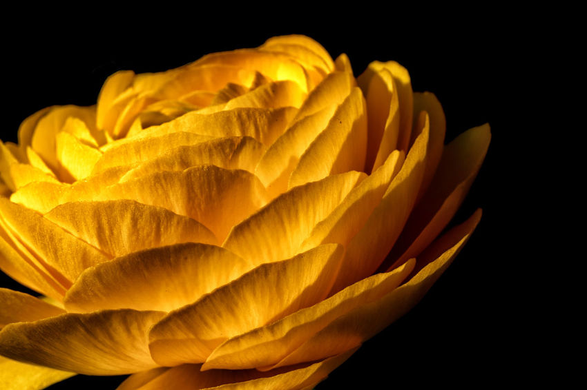 EyeEmNewHere Paint The Town Yellow Beauty In Nature Black Background Blooming Buttercup Close-up Day Flower Flower Head Fragility Freshness Growth Nature No People Petal Plant Ranunculus Studio Shot Yellow