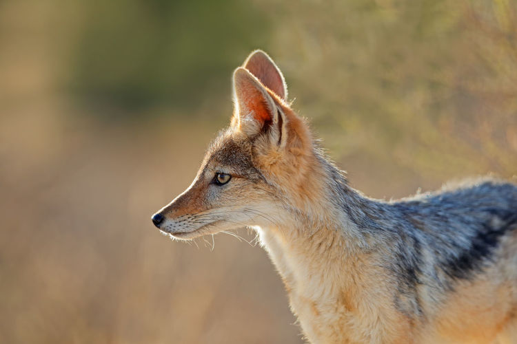 Jackal looking away while standing outdoors