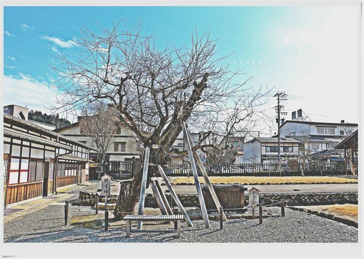 Japan Tree Good Memory