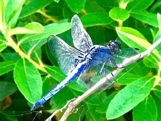 Dragonfly TOMBO 蜻蛉 とんぼ Insect Animal Wildlife Invertebrate One Animal Close-up Animal Wing Outdoors No People Nature Green Color Beauty In Nature