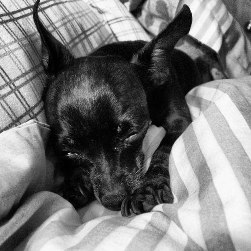 Porque el amor que recibimos de estas chulerías es incondicional y puro Dog Chihuahua