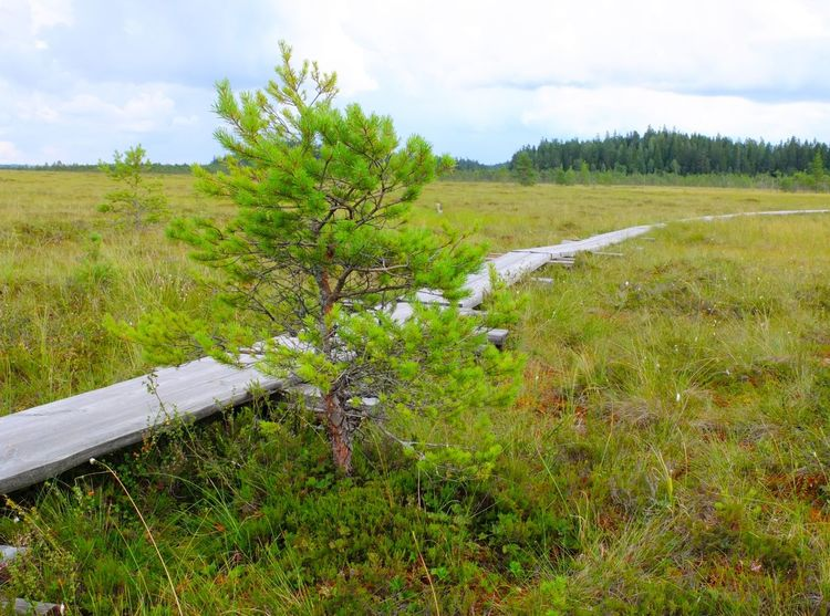 Duckboards at Torronsuo National Park, Finland Agriculture Beauty In Nature Bog Day Duckboard Field Grass Green Color Growth Hiking Landscape Nature No People Outdoors Path Path In Nature Pathway Rural Scene Scenics Sky Swamp Swamp Photos Torronsuo Tree Water