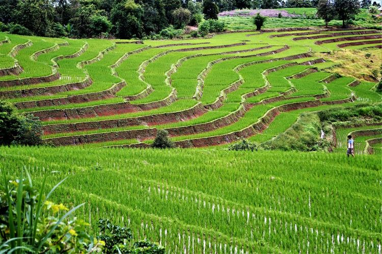 Rice Terraces, Lost In The Landscape Agriculture Beauty In Nature Day Field Grass Green Color Growth Landscape Nature No People Outdoors Rice - Cereal Plant Rice Paddy Scenics Terraced Field