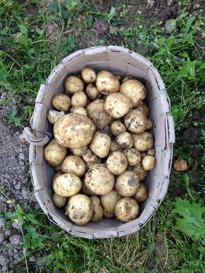 Potatoes Homegrown Potato Fresh Freshness Finland High Angle View Food Food And Drink Field Grass Outdoors Vegetable Scandinavia Growth Day Healthy Eating No People Nature Root Vegetable Organic Organic Food Gastronomy Potatoes Basket Healthy