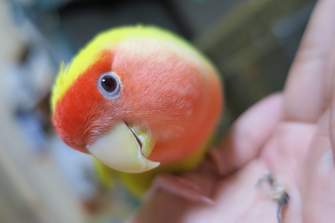 Cropped image of hand feeding lovebird