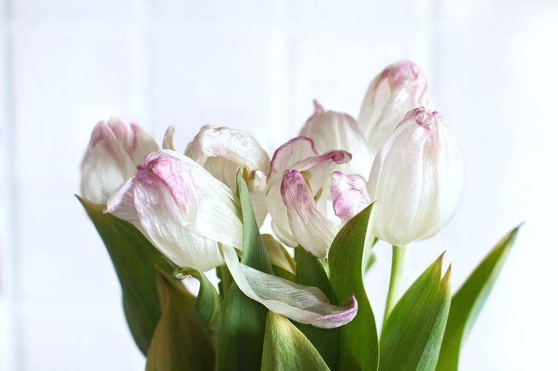 Wilted flowers on white background Fade Faded Beauty Wilted Plant Bouquet Tulips White Flower Pink Flowers Flower Flowering Plant Plant Beauty In Nature Close-up Petal Freshness Vulnerability  Fragility Inflorescence Growth Flower Head Plant Part
