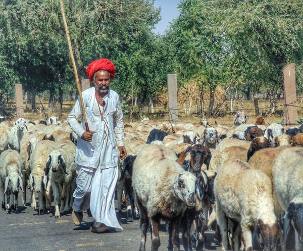 this is life of a sheepherd #Rajastani #VillageLife #people #rajasthan #sheep #sheepherder #shepherd